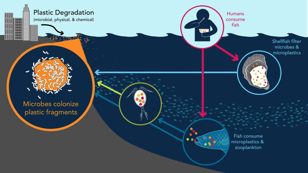 microplastics in the food chain